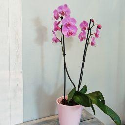 Coquette Orchidée rose