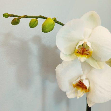 Plume Orchidée blanche 2