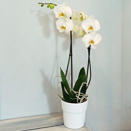 Plume orchidée blanche